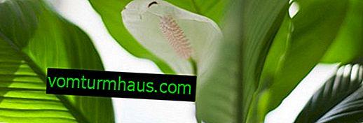 Metody šíření spathiphyllum doma