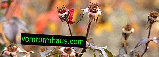 Funktioner ved pleje af roser om efteråret
