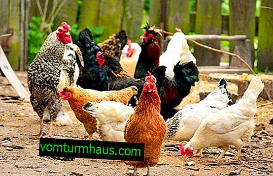 Vad är förblandningar för kycklingar: sammansättning och foderregler