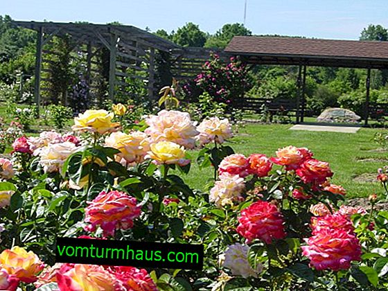 Parkové růže: popis, výsadba a další péče