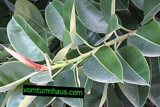 Comment soigner le ficus robusta à la maison