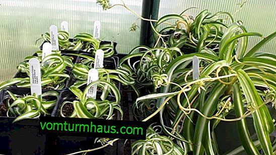 Wie man Chlorophytum zu Hause vermehrt