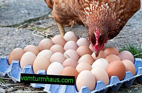 Varför finns det blod i ett kycklingägg och vad man ska göra med det