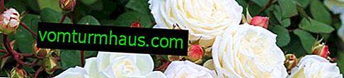 Jak šířit řízky růží na podzim doma