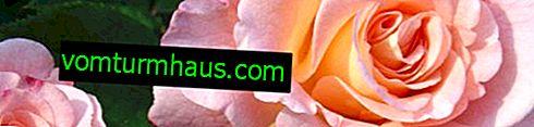 Vše o Floribunda růží