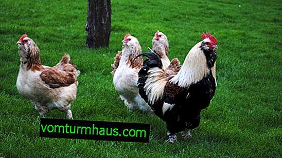 Faverole (rasa kurcząt): opis, hodowla w domu