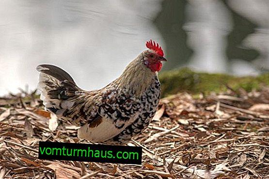 Kurczaki Liven perkal: opis, treść i opieka