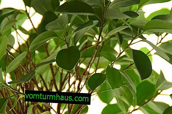 Why ficus discards leaves and how to treat a plant