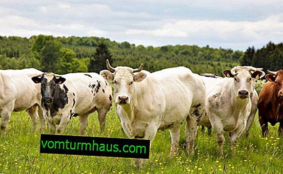 Účinné krémy a masti pro vemena krav