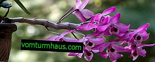 Le foglie di orchidea diventano gialle: cause e trattamento