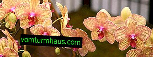 Kdy a jak transplantovat orchidej Phalaenopsis