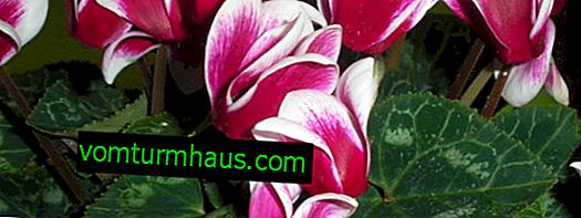 Ways to breed cyclamen at home