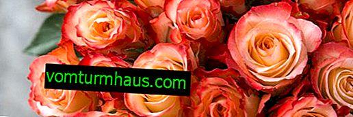 Beskrivning och odling av rosor Ecuador