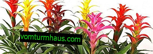 Guzmania blommamix: hur man bryr sig hemma