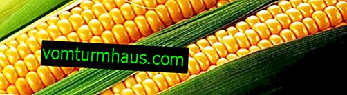 När kan och hur man samlar majs?