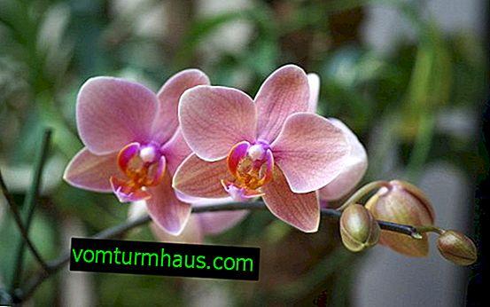 Merkmale des Aussehens und des Wachstums eines Stiels in einer Orchidee