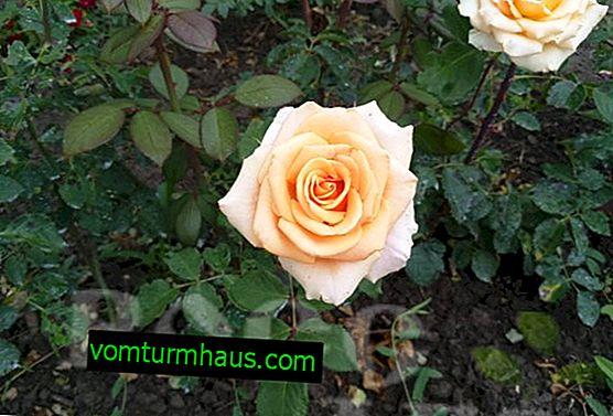 Rosa Versilia: uzgoj i njega na otvorenom
