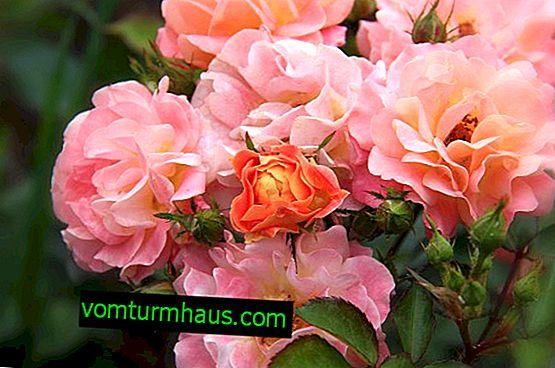 Polyanthus rosor: beskrivning, funktioner för växande och vård