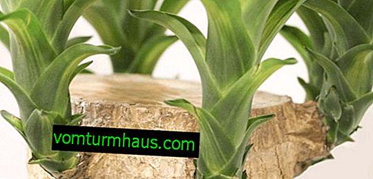 Elephant Yucca: comment s'occuper à la maison