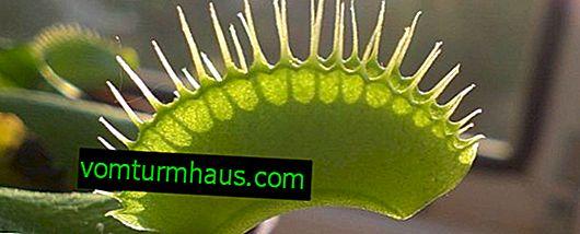 Hur man tar hand om en venus flytrap hemma