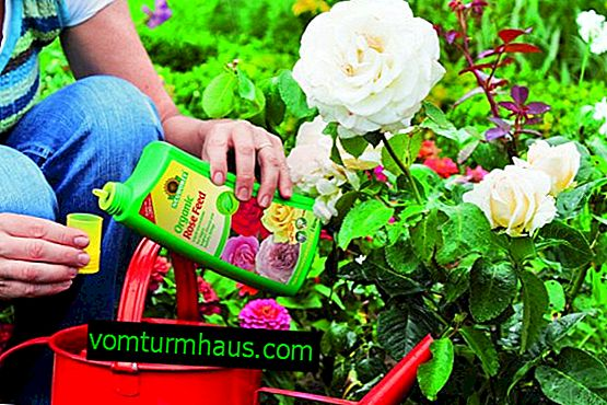 What and how to fertilize roses?