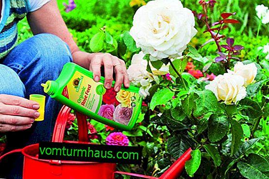 Vad och hur man gödslar rosor?