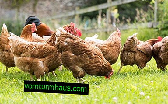 Kan skum ges till kycklingar och varför hackar de det?