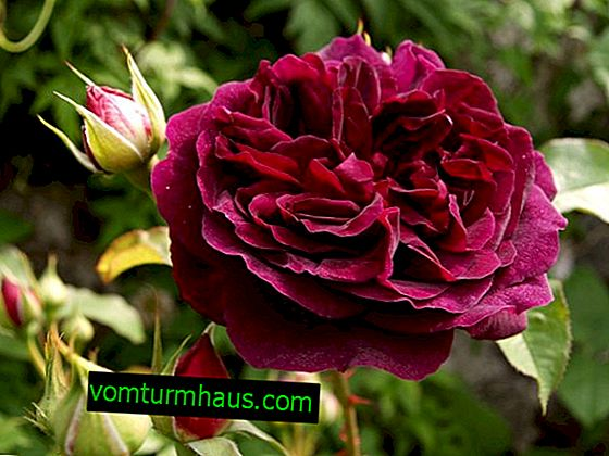 Peony rose - description and features of care