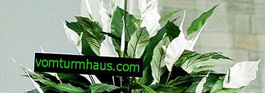 Spathiphyllum: una descripción de los tipos, características de la atención.