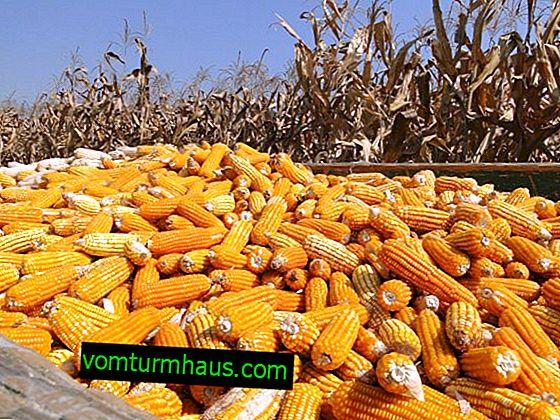 Prosječni prinosi kukuruza po 1 ha