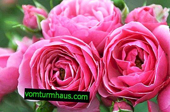 Rosa Pomponella: odling och skötsel utomhus