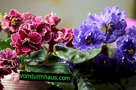 Violer blommar inte hemma: orsaker och lösning