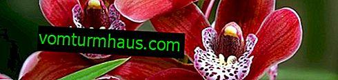 Vad ska man göra - släpper orkidéer blad?