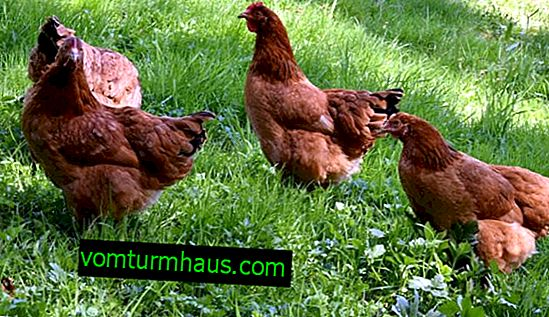 Redbro breed of chickens: description, features of breeding at home