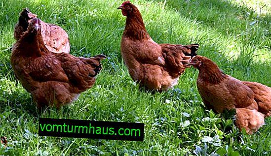 Rasa kurczaków Redbro: opis, cechy hodowli w domu