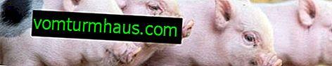 Come nutrire i maiali: dieta e norme