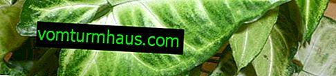 Variétés et types de syngonium et prise en charge appropriée