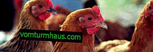 Hur man behandlar smittkoppor i kycklingar