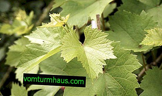 Odrůda hroznů Baikonur: vlastnosti, kultivační tajemství