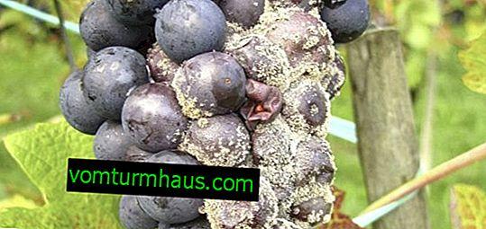 Szara zgnilizna na winogronach: jak walczyć, niż leczyć