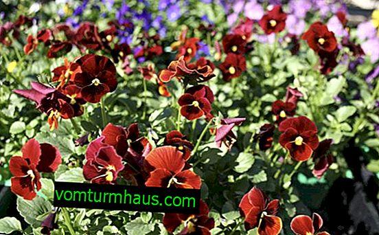 Ljubičasta ljubičica: raste iz sjemena u otvorenom tlu