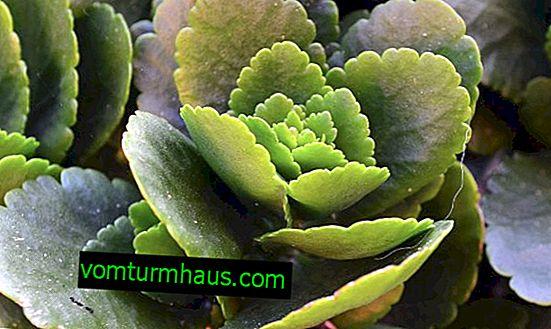 Liście Kalanchoe żółkną: powody, dla których należy traktować roślinę