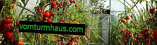 Les meilleures variétés de tomates rabougris pour les serres