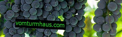 """Odrůda hroznů """"Alpha"""": popis a fotografie, kultivační tajemství"""