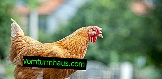 Foxy Chick chickens: breed description, breeding and care features