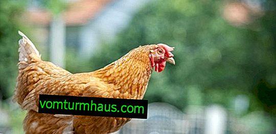 Foxy Chick høna: ras beskrivning, avel och vård funktioner