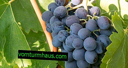 Ataman üzüm çeşitliliği: fotoğraf ve açıklama, yetiştirme sırları