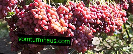 Sorta grozdja Rumba: opis in fotografija