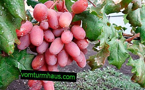 """Odrůda hroznů """"Victor"""": vlastnosti, zemědělské pěstování"""