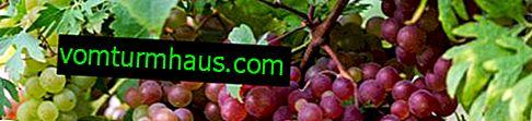 Üzüm neden kurur ve bununla nasıl başa çıkılır?
